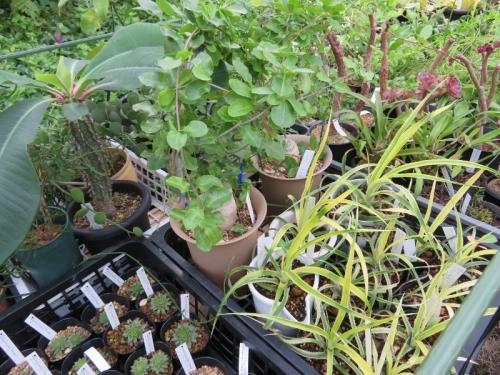 斑入りパイナップルの苗土に、ユーフォルビア・噴火竜・ピグエリー(Euphorbia viguieri)こぼれ種発芽2018.09.07