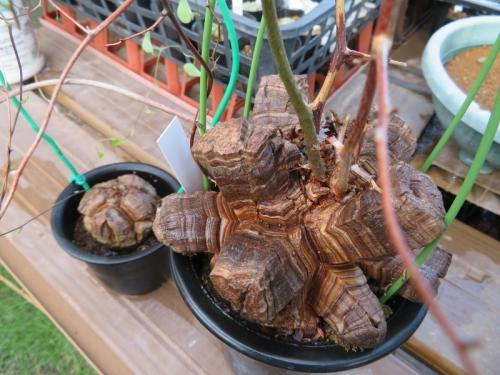 ■アフリカ亀甲竜・(Dioscorea elephantipes)エレファンティペス=蔓亀草(塊根植物・冬成長型)目覚めてる♪2018.09.09