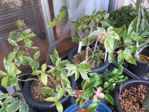 ペレスキア・美葉杢キリン(Pereskia aculeata cv. godseffiana /Mill)これは花芽♪2018.0911