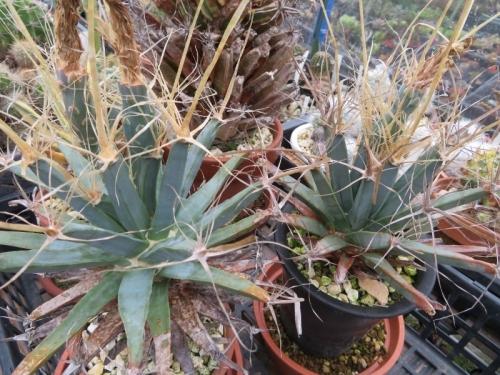 レウクテンベルギア・晃山(こうざん)(Leuchtenbergia principis)晃山~2018年開花後も、結実しています。2018.09.20