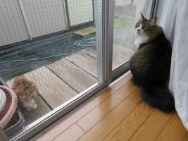 久しぶりに我が家の噛み猫イズコちゃんノラ三毛子♪2018.09.27