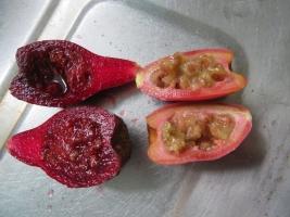 左:宝剣団扇の濃紫実1年以上経過しても熟れずに酸っぱくマズイ~。右:刺縮団扇の実は開花後すぐ赤く熟れ結構甘いです。2018.09.27
