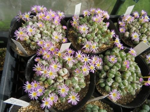やや肌に特徴のある♪コノフィツム・エクティプム)(淡ピンク花)夏期長く満開花中♪2018.09.27