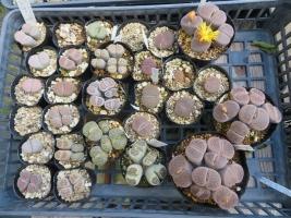 リトープスに花芽が来ました♪2018.10.02