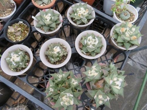 ■アリオカルプス・三角牡丹×岩牡丹(Ariocarpus retusus)交雑種?美白花♪花芽が来ました。2018.10.04