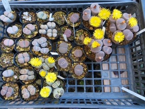 リトープス黄色花いろいろ~日輪玉系、麗晃玉系など咲き始め~2018.10.06
