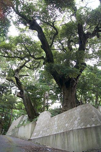 180807奈良本泉寺のスダ群①