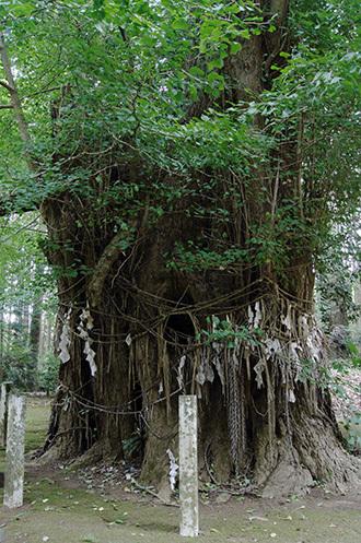 180807熊野神社イチョウ④