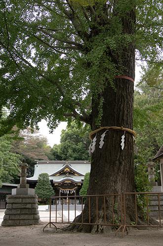 180913八幡神社ご神木②