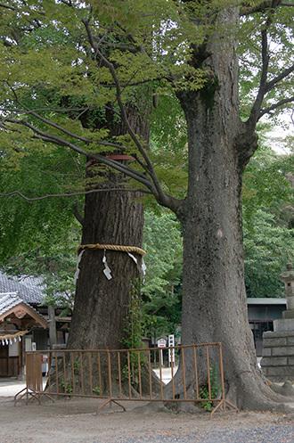 180913八幡神社ご神木③