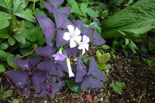 オキザリス・紫の舞
