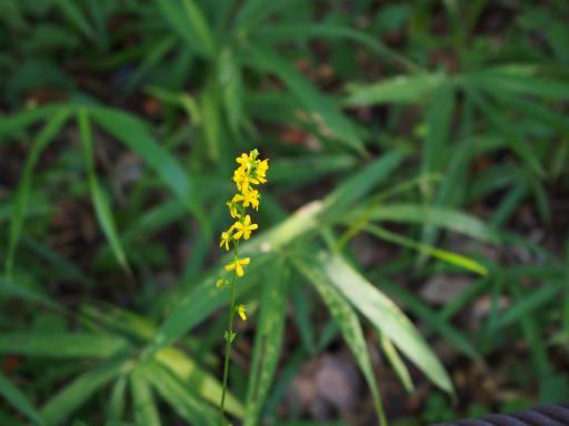 20180922・多磨霊園植物05・キンミズヒキ