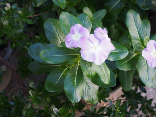 20181007・ところざわ祭植物02・ニチニチソウ(薄紫)