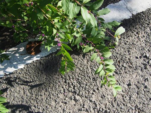 20181007・ところざわ祭植物11・ムラサキシキブ