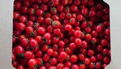 ミニトマト2