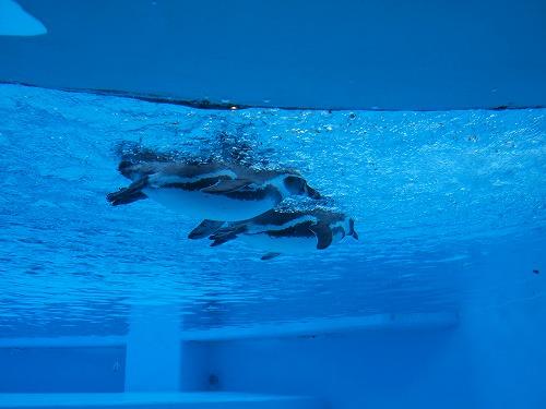 500水の中のペンギン