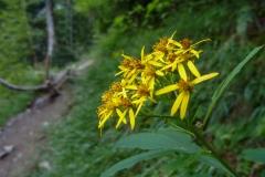 北岳の高山植物1blog