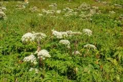 北岳の高山植物10blog