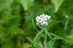 北岳の高山植物5blog
