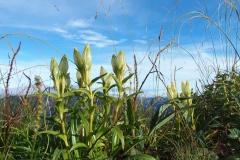北岳の高山植物12blog