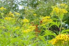 北岳の高山植物6blog