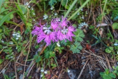 北岳の高山植物7blog