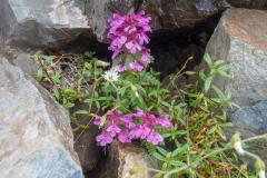 北岳の高山植物14blog