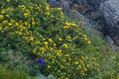 北岳の高山植物15blog