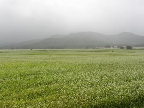 幌加内のソバ畑