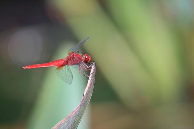 no005赤蜻蛉