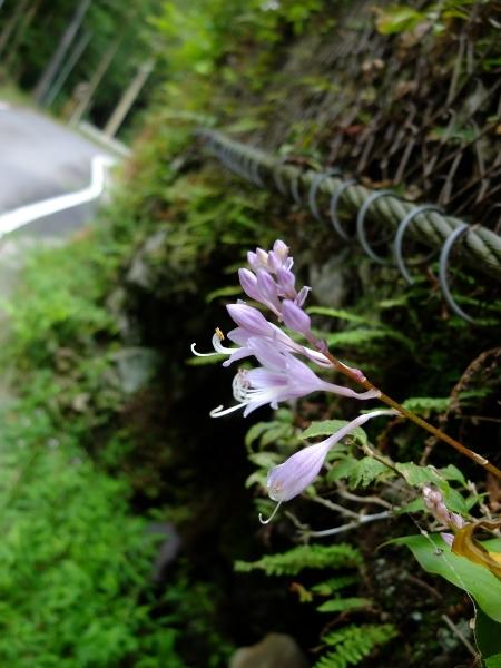 0912梅田イワギボシ