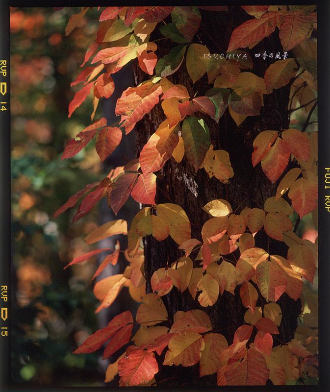 蔦の紅葉 2