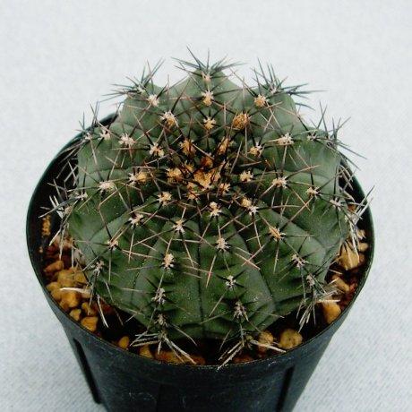 110926-Sany0119-G. stellatum v. zantnerianum-STO 88-117-Piltz seed 2859