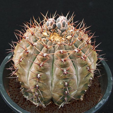 180821c--Sany0084--esperanzae--CH 1417--Nueve Esperanzae 519m LR--ex Cactus Hobby-