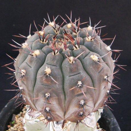 170926--Sany0012--esperanzae--MM 1257--east of Corral de Isaac, LR, 515 m--Bercht seed (2013)