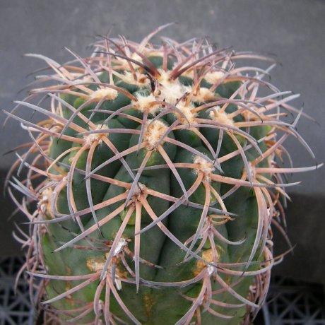 180311--Sany0188--spegazzinii ssp sarkae--KFF 1304