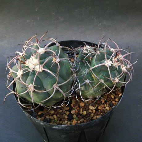 180911--Sany0206--castellanosii v rigidum--JO 1425--Chila LR--ex Eden IB 18622 (2012)