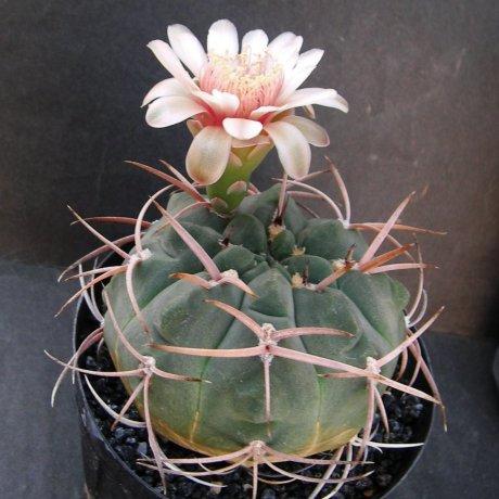 180601--Sany0147-castellanosii v rigidum--Toma LR--Mesa seed 460.82(2009)