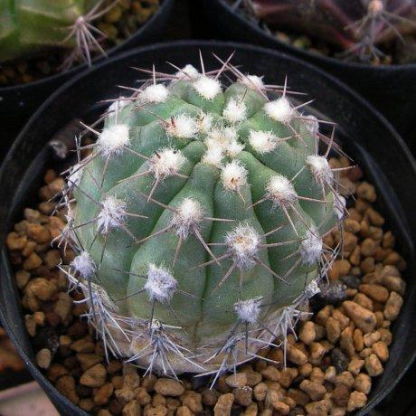 180307--Sany0150--alboareolatum--P 221--Sanagasta LR 1100m--Koehres seed 3433