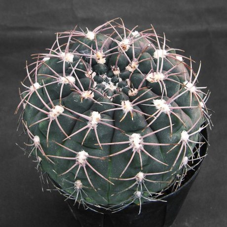 150807--Sany0105-alboareolatum--P 382A--Piltz seed