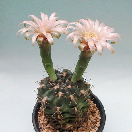 180519--Sany0011--alboareolatum v ramosum or --BKS 50-3--Piltz seed 0902