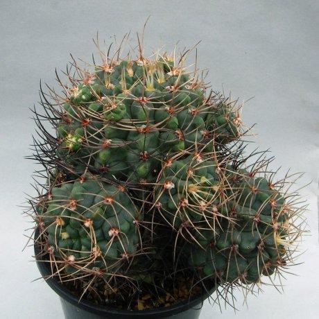 180914--Sany0003--fischeri v suyuquense--VS 8 --Mesa seed 476.423--ex Kousen en-