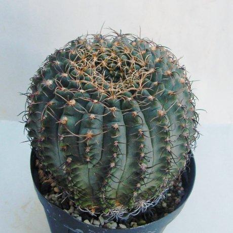 180928--Sany0124--quehlianum v flavispinum--P 180--piltz seed 4284