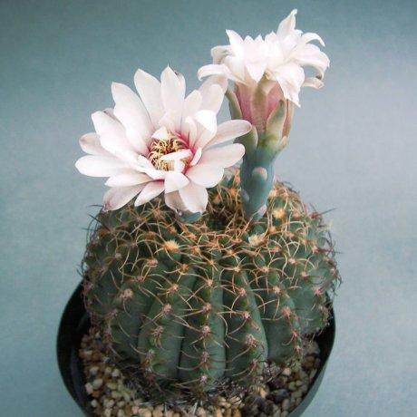 180701--Sany0199--quehlianum v flavispinum--P 180--Piltz seed 4284