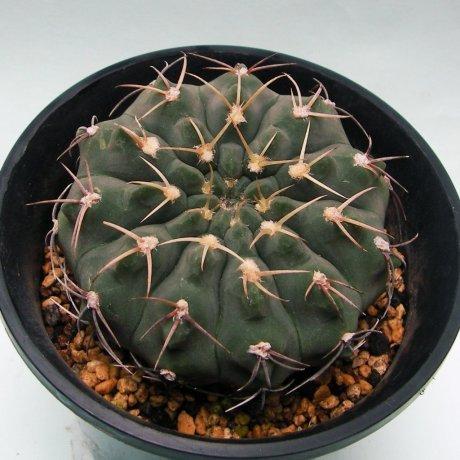 180506--Sany0023--ochoterenae v albispinum--Jecminek seed 0-2724