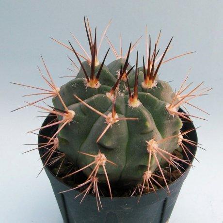 180512c--Sany0131--coloradense--STO 0011--Sierra de La Punta Negra LR--Bercht seed 2897 (2014)