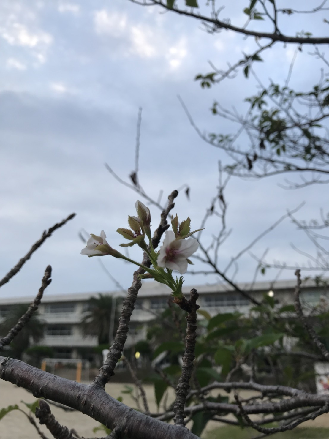 秋に桜が開花宣言!?