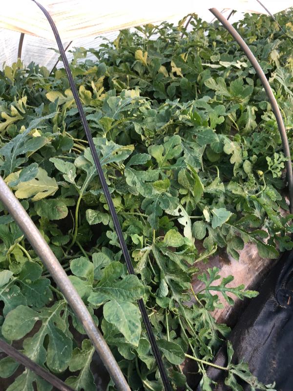 台風の後の西瓜