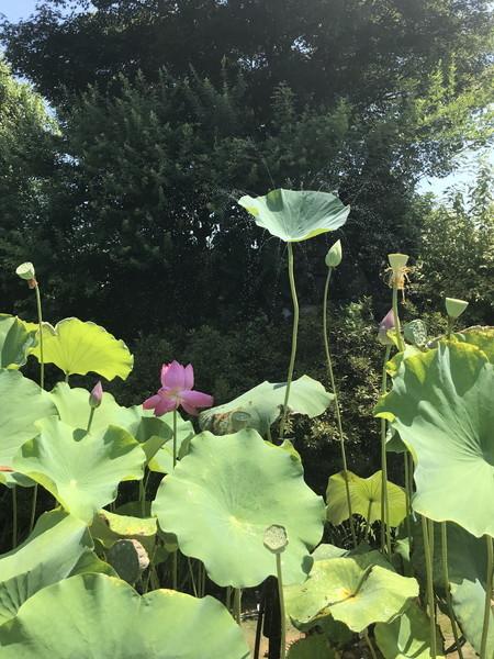 09_蓮の花