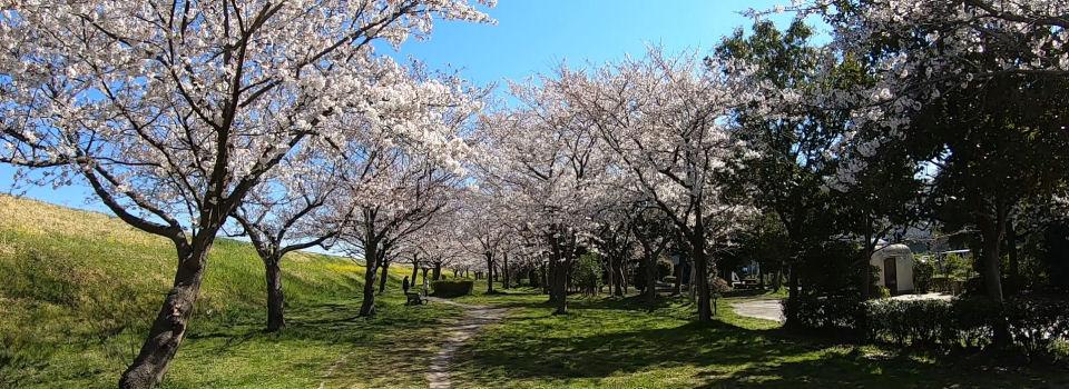 におどり公園の桜